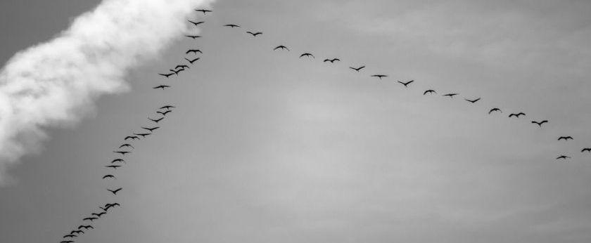 die Zugvögel fliegen wieder